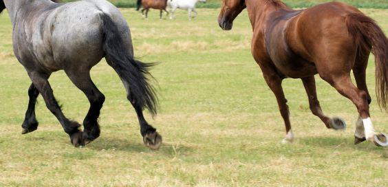 kisah-nabi-sulaiman-menyembelih-kuda-karena-allah